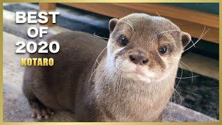 これがカワウソコタロー最強ベストシーン! Otter Kotaro Best Moments of 2020
