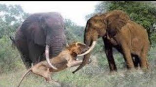 Animals Fight Powerful Lion vs Elephant