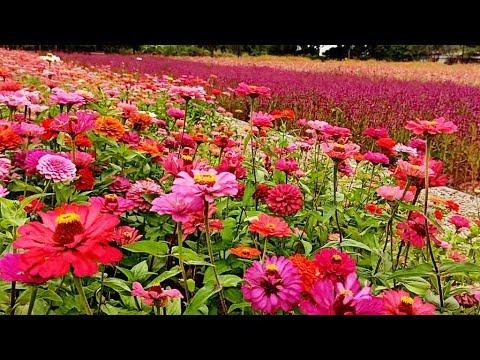 2019桃園花彩節11/9豔麗圖騰花海登場! Taoyuan Flower Festival