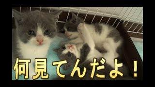 【猫好き】何見てんだよ!(ブリティッシュショートヘアー)《funny cats》