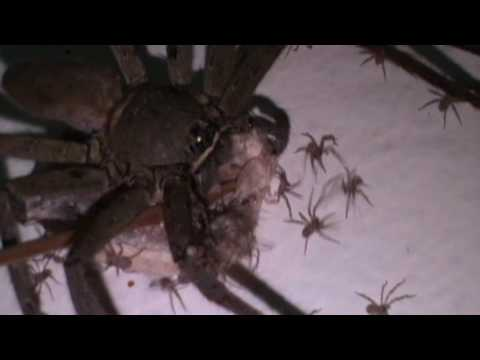 Giant Huntsman Spiders Baby Delivery then Hundreds of Babies Spread Throughout in House Wall