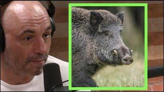 Joe Rogan on Wild Pigs
