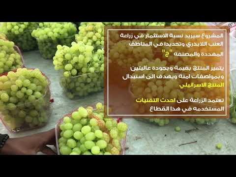 شراكات والاخوين صوافطة: 500 دونم من العنب اللابذري المبكر تزرع في الاغوار الفلسطينية