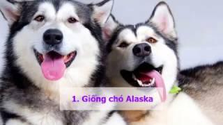 Những giống chó đẹp nhất Việt Nam hiện nay