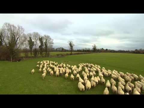 El inesperado resultado de un granjero que remplazó a su perro pastor por un dron