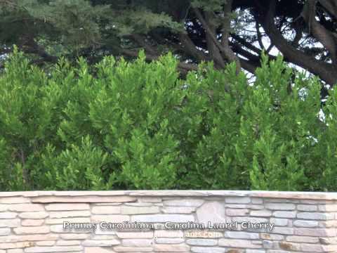 Prunus Caroliniana Carolina Laurel Cherry Youtube