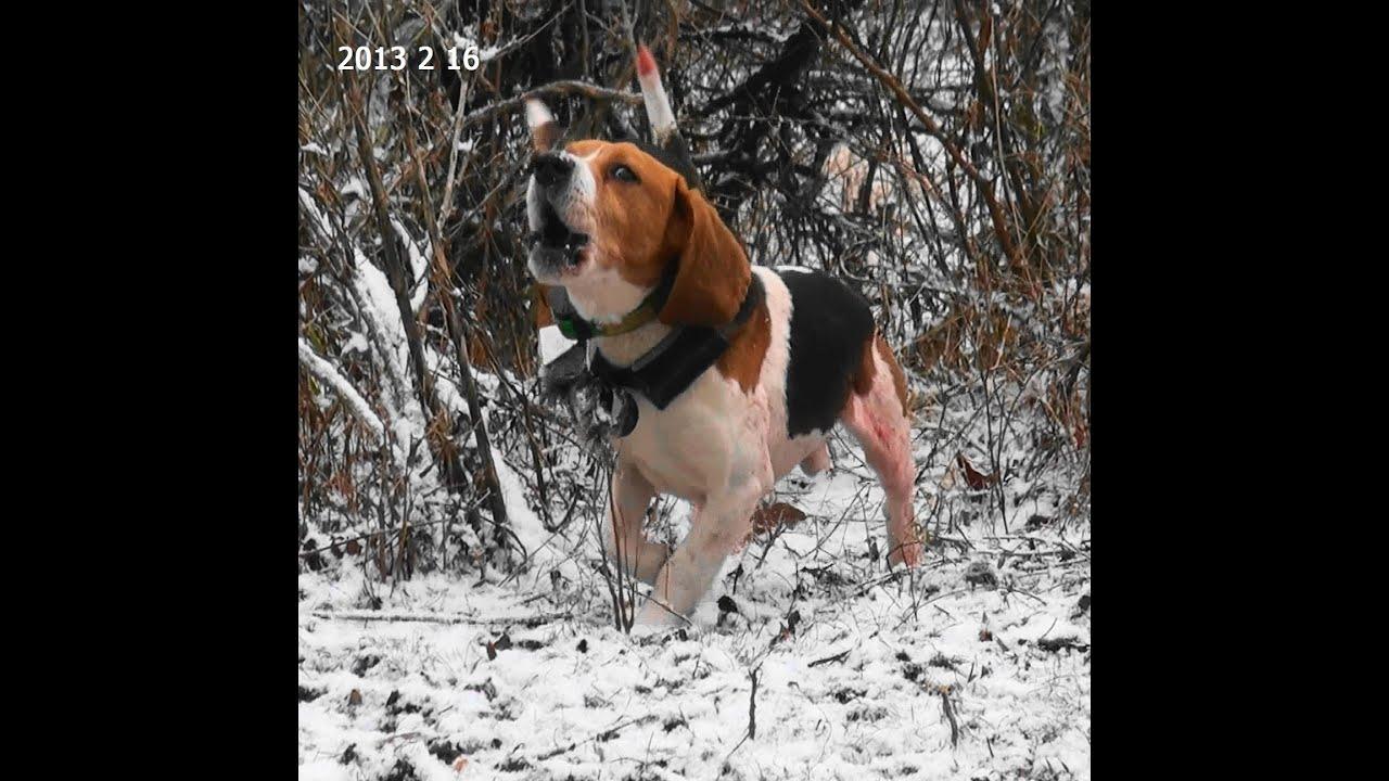 Beagle hunting - photo#45