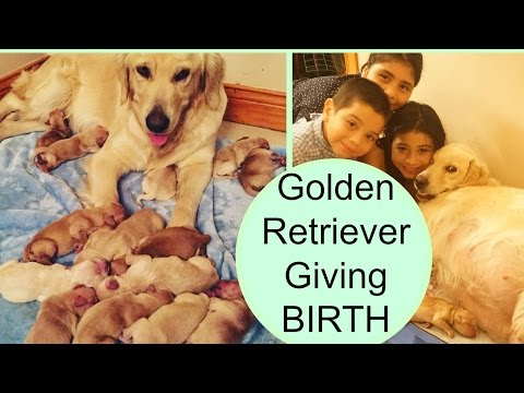 Golden Retriever Giving BIRTH TO 14 Puppies