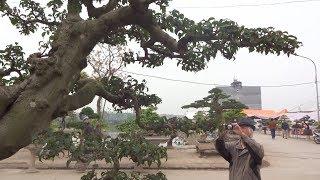 Nổ 2 tác phẩm 10 tỷ và 1 tỷ rưỡi tại triển lãm, thực hư thế nào - selling super bonsai trees