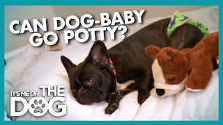 Time to Grow Up for Diaper Wearing Frenchie | It's Me or the Dog