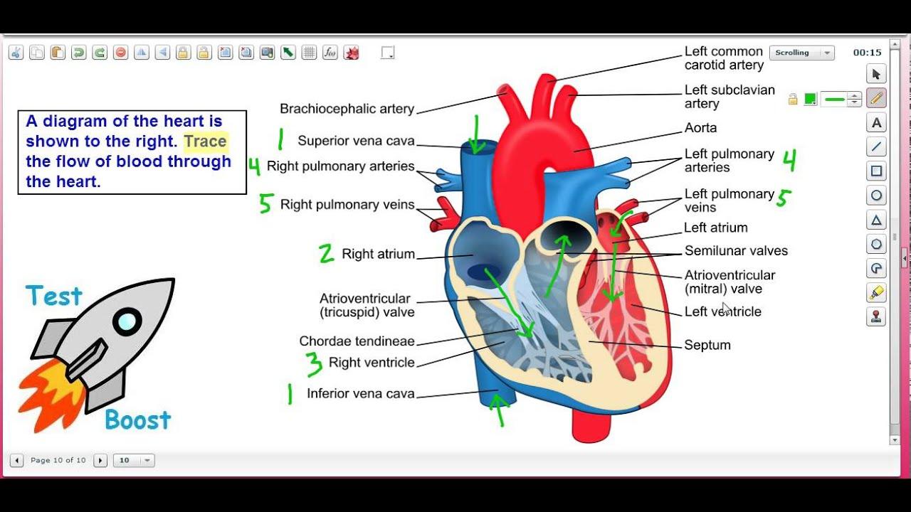 Blood Flow Through the Heart: Test Boost Inc / SAT Subject ...