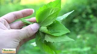 Chỉ bằng nắm lá cây mọc hoang này có thể giúp bạn xua tan nỗi lo Bệnh Trĩ