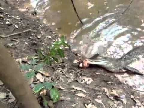 Alligator attacks An Electric Eel and dies - YouTube