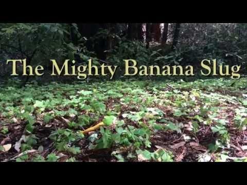 The Mighty Banana Slug