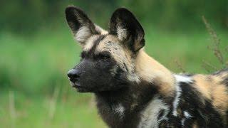 WILD DOG 2016 - Wild DOG Documentary 2016 [720p] HD