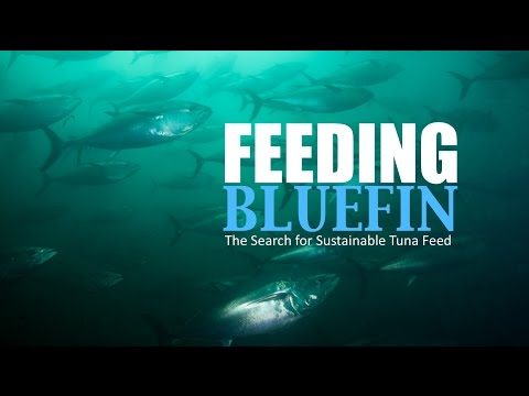 Feeding Bluefin