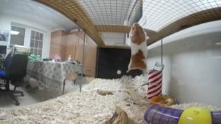 Syrian hamster- Mission impossible - 360° VR