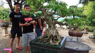 Giá cây cho các anh em tham khảo để mua chơi