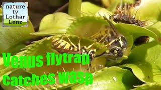 Venus flytrap catches yellow jackets. Venusfliegenfalle fängt Wespen