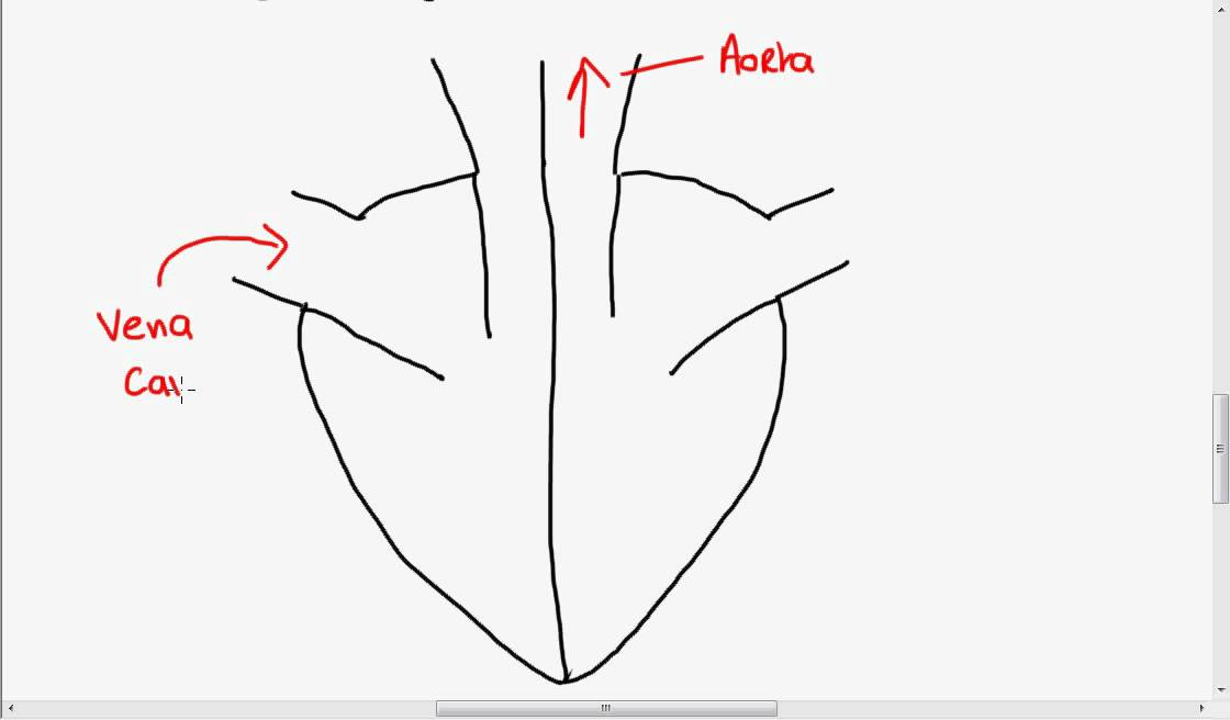 Structure of the Heart - YouTube