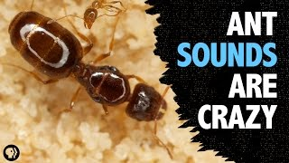 What Sound Does An Ant Make?