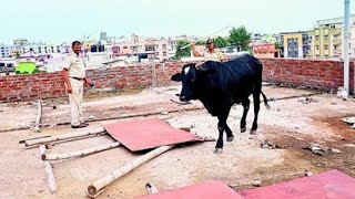 Watch: Bull stuck on rooftop of house, rescued by locals..