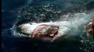 ホオジロザメ20