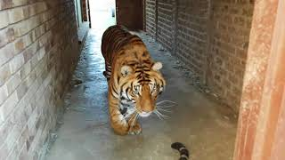 How does a tiger say