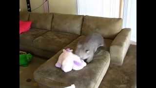 Wombat Hazelnut