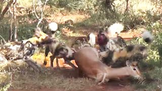 Wild Dogs Eat Impala Alive