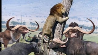 Incredible Wildlife Fight - Lion, Elephant, Crocodile and Buffalo