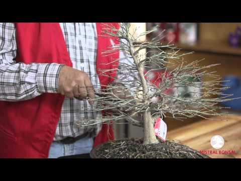 Poda y aclarado bonsái Acer de colección.
