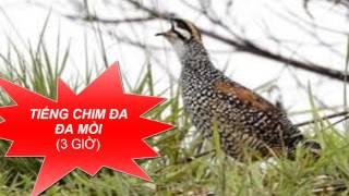 Tiếng chim mồi - Tiếng Chim Đa Đa Gáy Cực Hay 3 giờ \