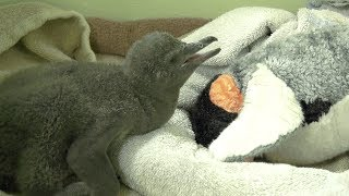Zoo near Chicago shows off penguin chick