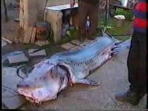Рыба КАЛУГА! Браконьерство!