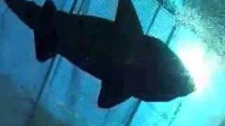 サメを海に帰す