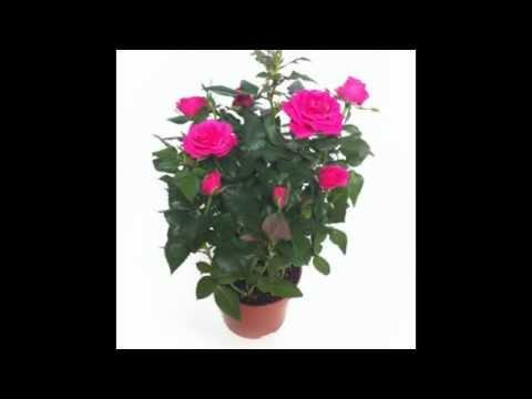 Cuidados y consejos: rosal mini