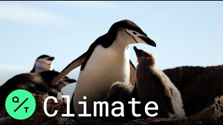 Penguin Colonies Are Shrinking in Antarctica Due to Climate Change