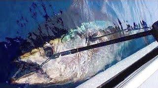 Huge Tuna nearly spools reel in one run!
