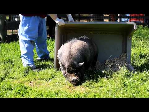 Rescued Pigs See Grass for First Time