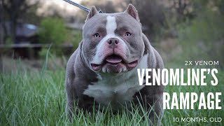 """Best 10 Month Old Extreme Build Pocket Bully """"Puppy"""" Venomline's RAMPAGE   Heir To The Throne?"""
