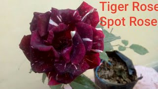 How to grow & care Awara ka Dawra / Spot rose / Tiger rose in English on viewer's demand.