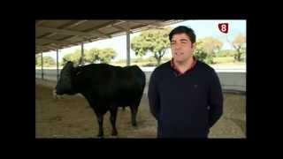 Un semental de Wagyu de Burgos a Avilés, por 1 400 kilos de carne de kobe