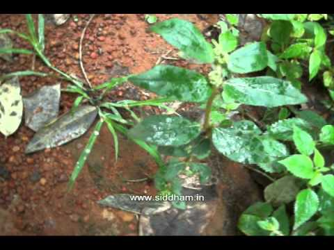 How To Warts Natural Remedy Euphorbia