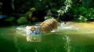 Siberian Tiger Swimming | endangered species