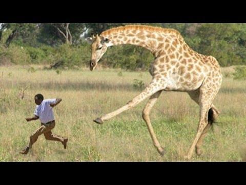 Attaque d'une girafe