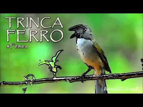 Baixar CANTO TRINCA FERRO FÊMEA Saltator similis # Green winged Saltator