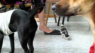 Bird and dogs (cưỡng chơi chung với chó)