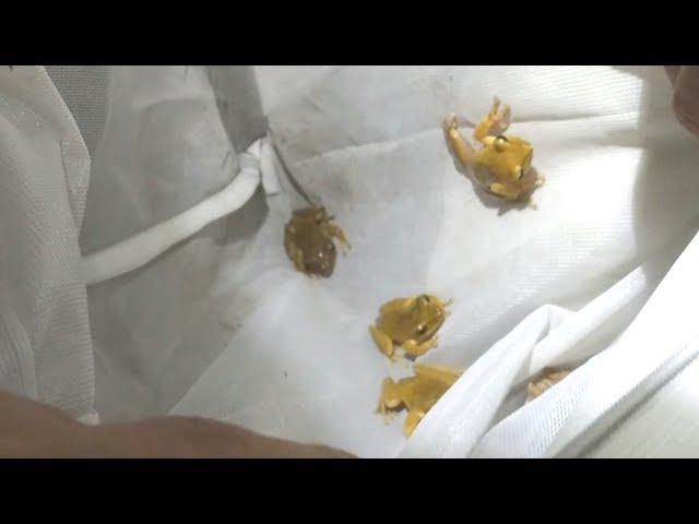 外來種斑腿樹蛙繁殖快 台灣原生種受排擠
