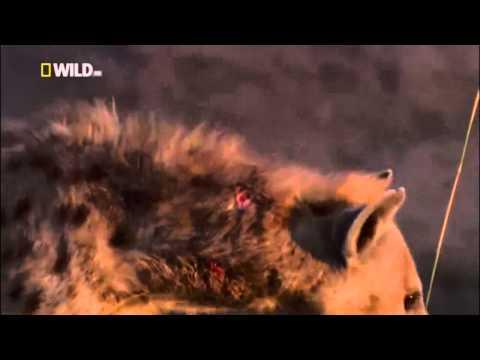 LEON LE SACA UN OJO A UNA HIENA - LEON MATA A UNA HIENA - The Hyena was wounded in the eye by Lion
